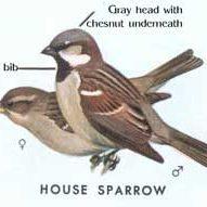 HouseSparrowsmfojpg