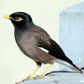 Common Myna - Photographers: K Vang and W Dabrowka © Bird Explorers